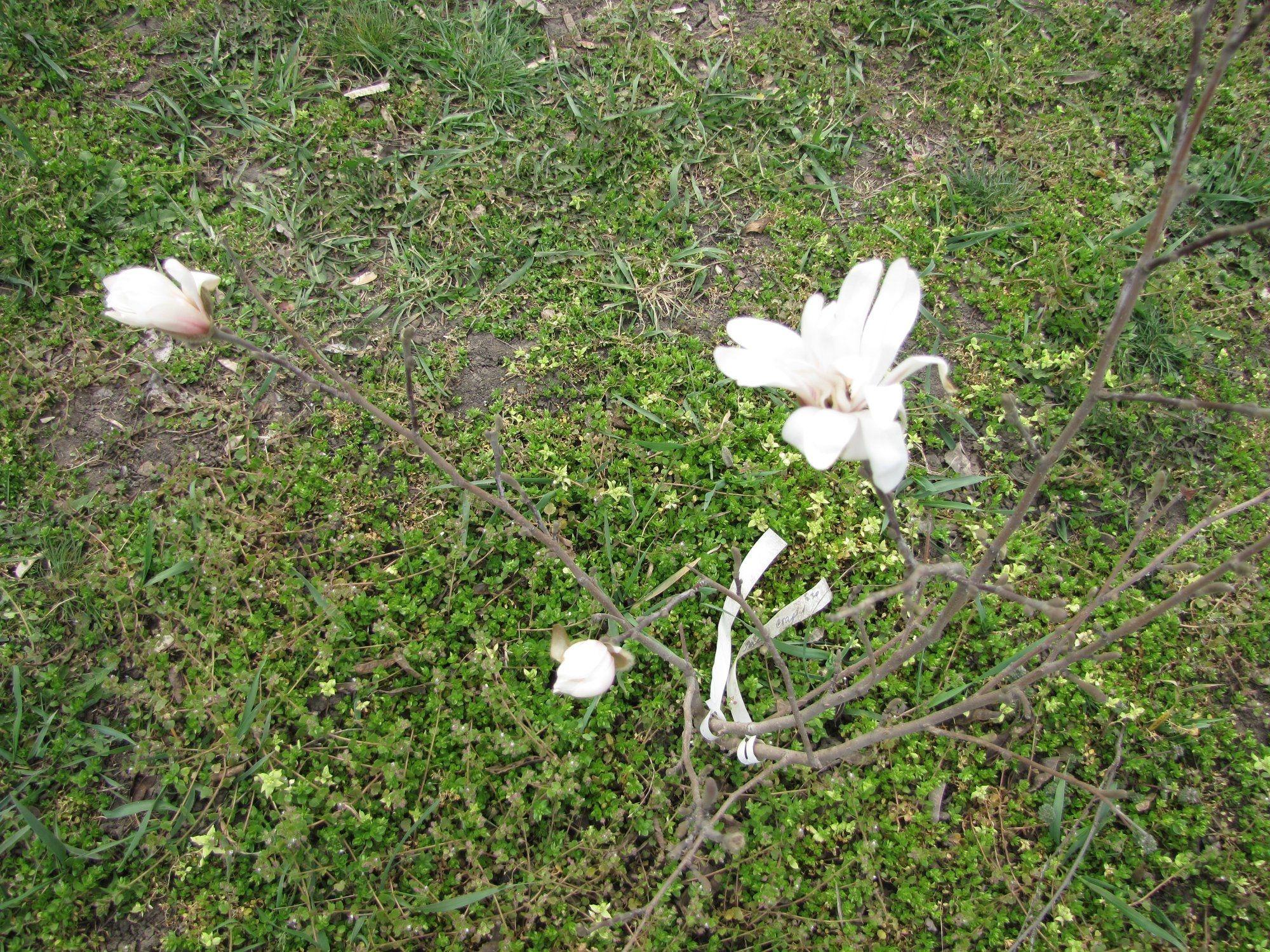 Квітне маглолія